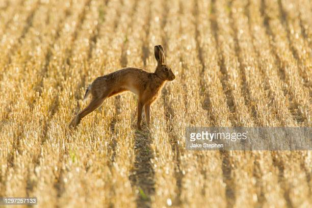 brown hare  stretching in stubble field - animal stock pictures, royalty-free photos & images