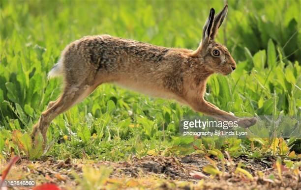 brown hare striding - animals in the wild stock pictures, royalty-free photos & images