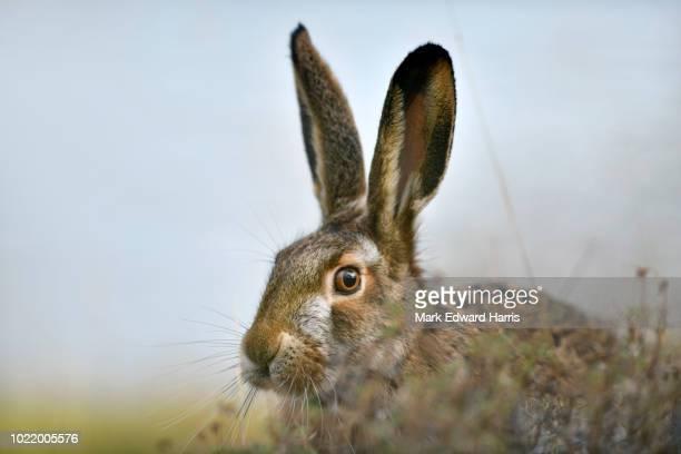 brown hare, torres del paine national park - lepre comune foto e immagini stock