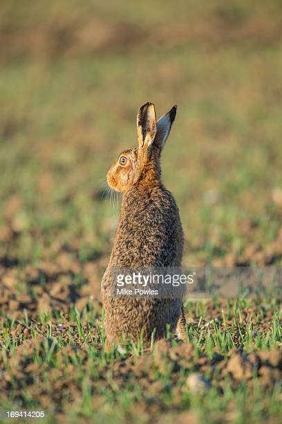 brown hare, warming up at sunrise, norfolk - brown hare stock pictures, royalty-free photos & images