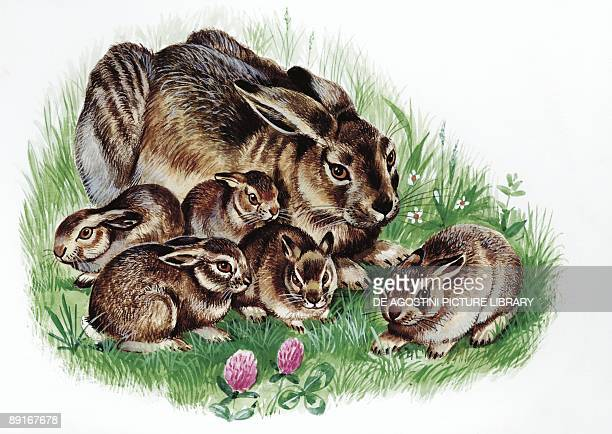 Brown Hare with young in grass illustration