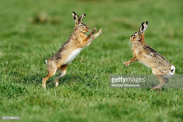 Brown hares fighting