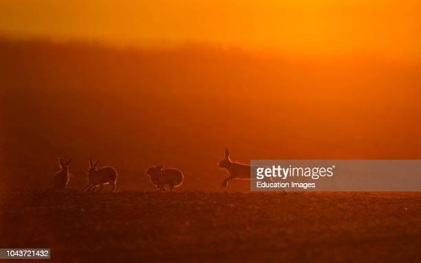 Brown Hares Lepus europaeus boxing at dawn Norfolk spring