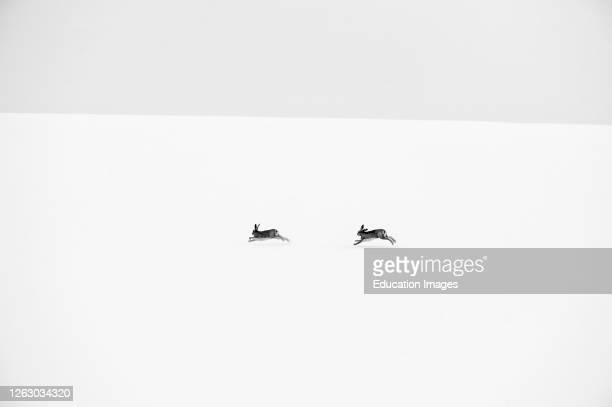 Brown Hares, Lepus europaeus, chasing scross snow covered field Norfolk, UK.