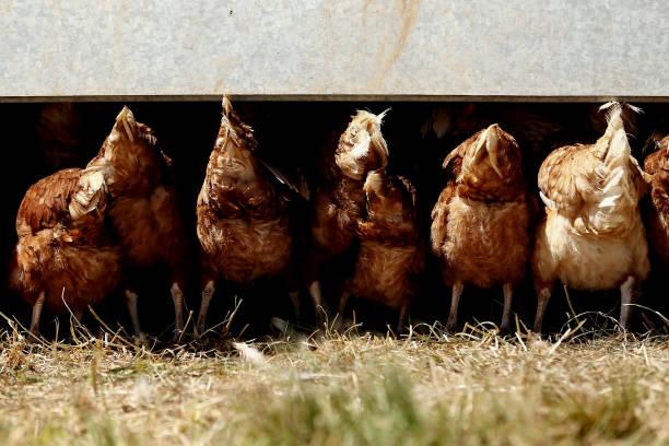 AUS: Egg and Pork Farming at the Taluca Park Free-Range Farm