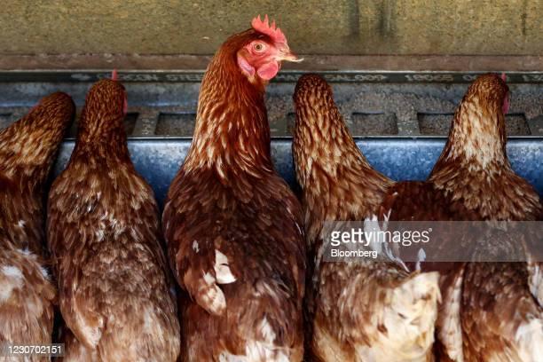 Brown hens eat from a chicken feeder at Taluca Park free range farm in Exeter, Australia, on Thursday, Jan. 14, 2021. Australia's economyis...