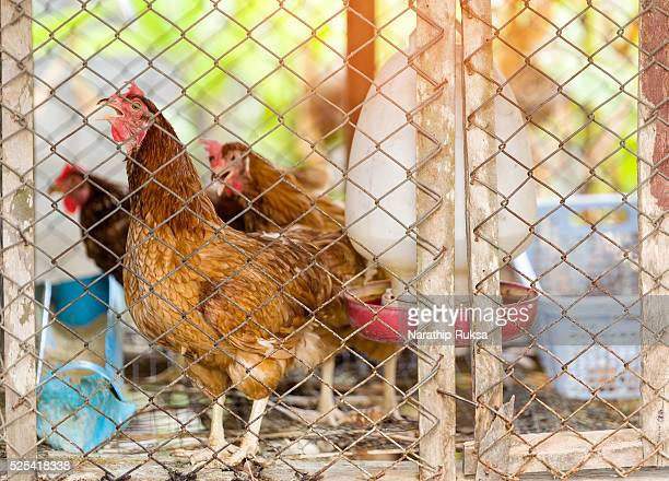Brown hens is in the cage. closeup of photo