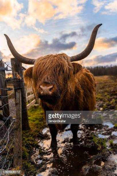 brown highland cattle - highland cattle stock pictures, royalty-free photos & images