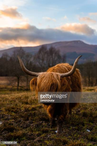 brown highland cattle - biodiversity stock pictures, royalty-free photos & images