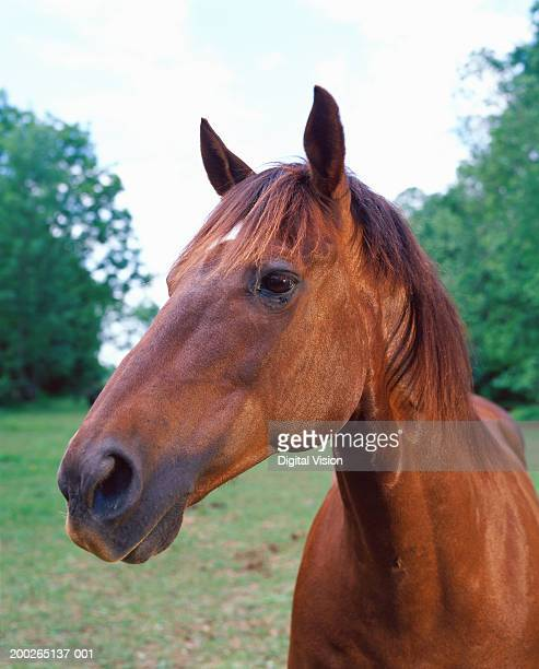 Brown horse, close-up