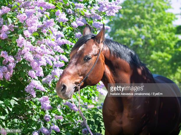 brown horse eating plants - {{relatedsearchurl('london eye')}} stock photos and pictures