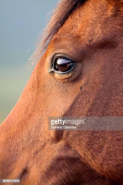 brown horse face - dähncke fotografías e imágenes de stock