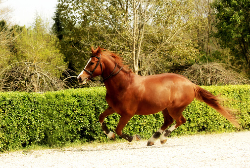 Brown horse galloping freely in paddock 1125325474