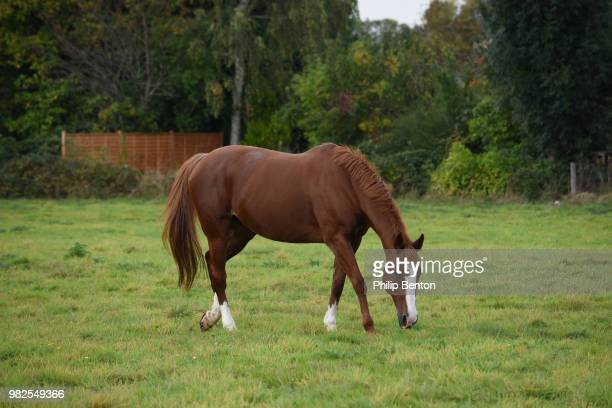 a brown horse grazing in berkshire, england. - grazing stock pictures, royalty-free photos & images
