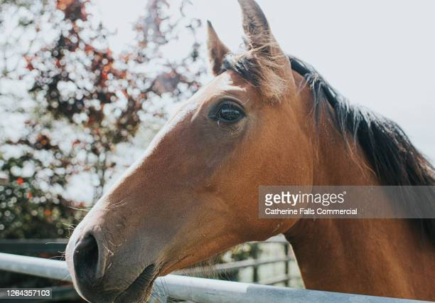 brown horse looking over a metal gate - snout stock pictures, royalty-free photos & images