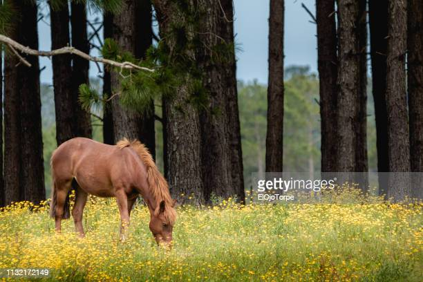 brown horse on a meadow, no people, rocha department, uruguay - hairy bush stock pictures, royalty-free photos & images