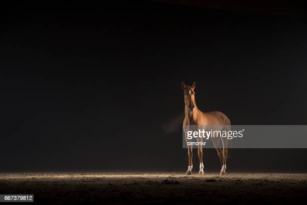 brown horse - racehorse stock pictures, royalty-free photos & images