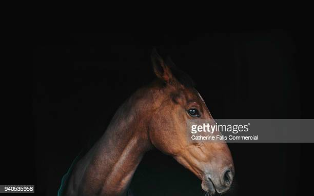 brown horse - thoroughbred horse - fotografias e filmes do acervo