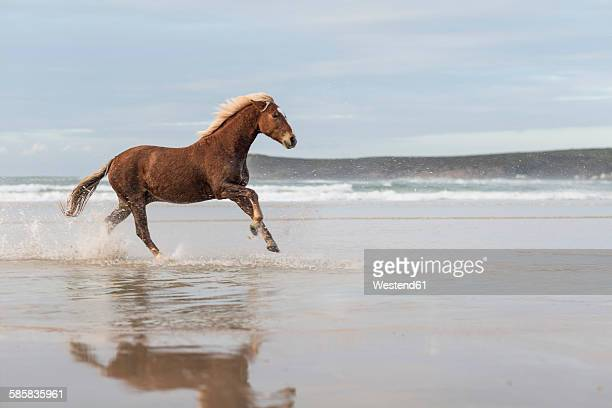 Brown horse running on a beach