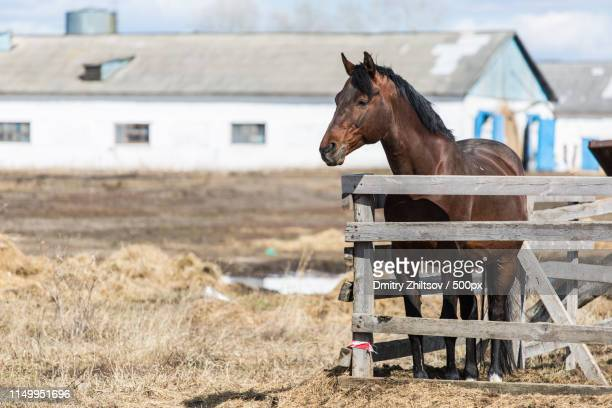 Brown horse standing behind old wooden fence