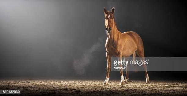 Braune Pferd stehend in der Reithalle