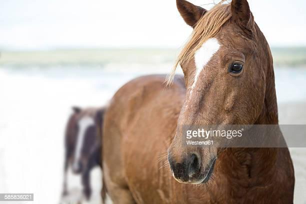 Brown horses on a beach