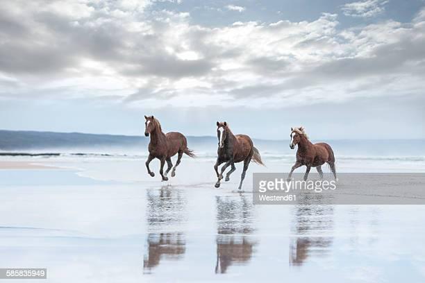Brown horses running on a beach
