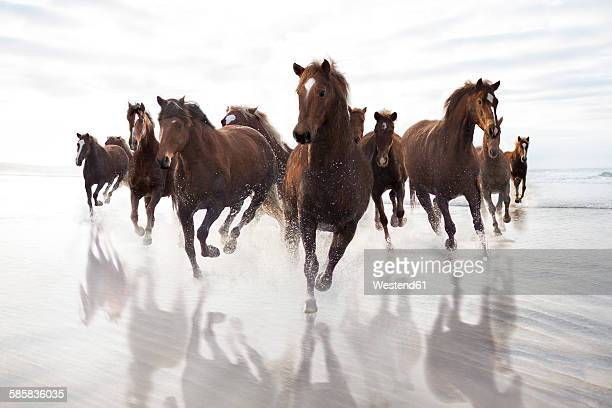 Brown Horses running on a beach