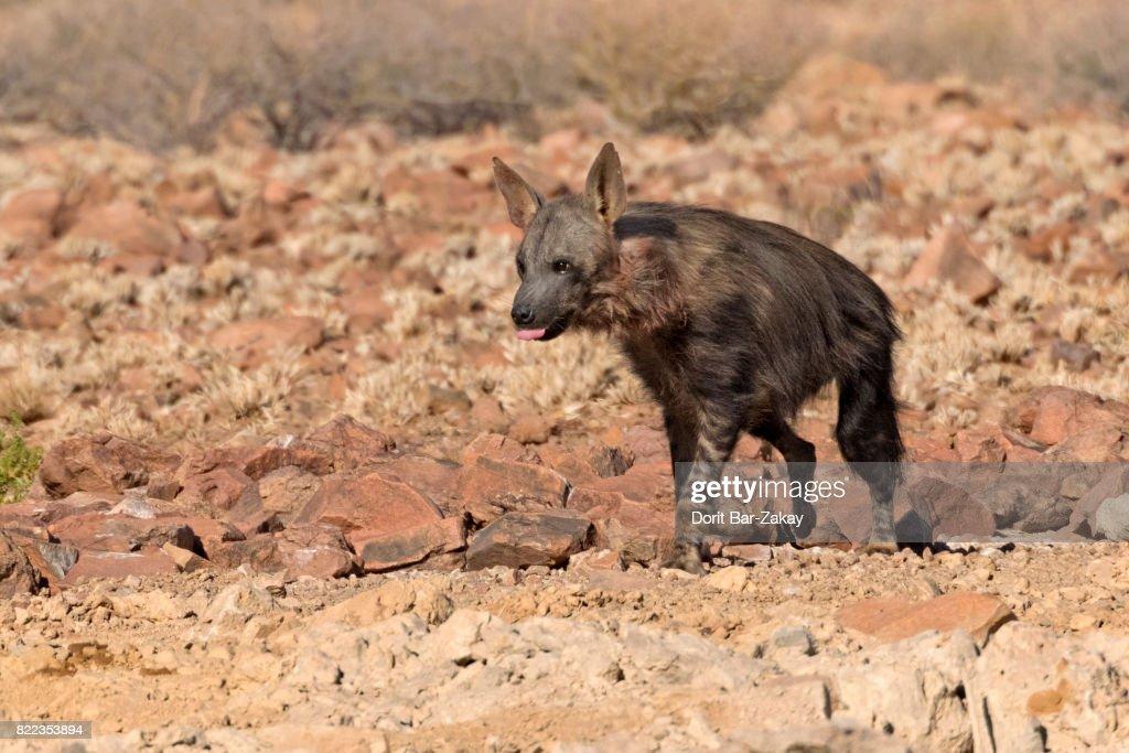 Brown Hyaena (Parahyaena brunnea/Hyaena brunnea) : Stock Photo