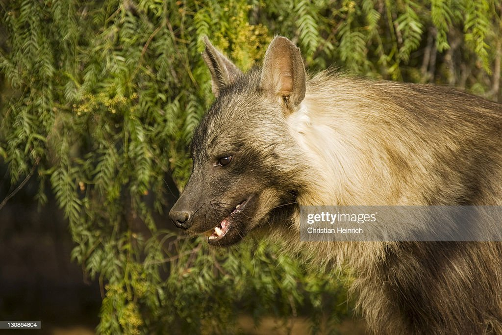Brown Hyena (Parahyaena brunnea, Hyaena brunnea), Namibia, Africa : Stock Photo