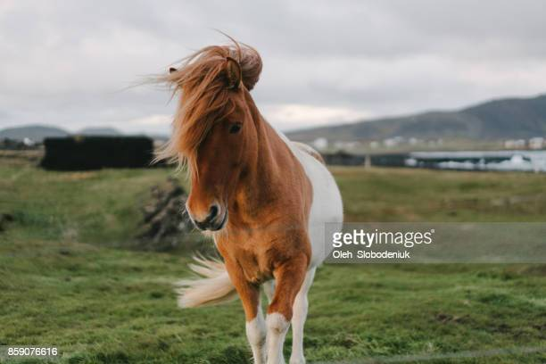 Brown Icelandic horse  on the meadow