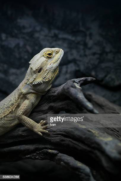 Brown Iguana ( Iguana iguana ) Stand on Deadwood