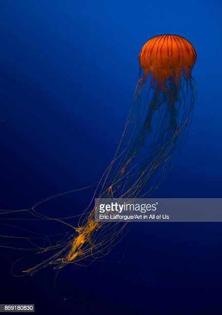 Brown jellyfish with tentacles swimming in Kaiyukan aquarium Kansai region Osaka Japan on August 19 2017 in Osaka Japan