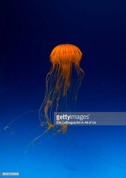 Brown jellyfish with tentacles swimming in Kaiyukan aquarium Kansai region Osaka Japan on August 19 2017 in Osaka Japan