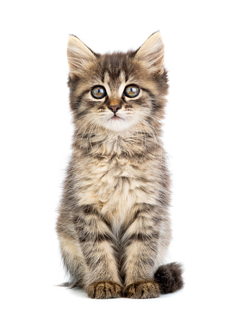brown kitten on a white 1163536654