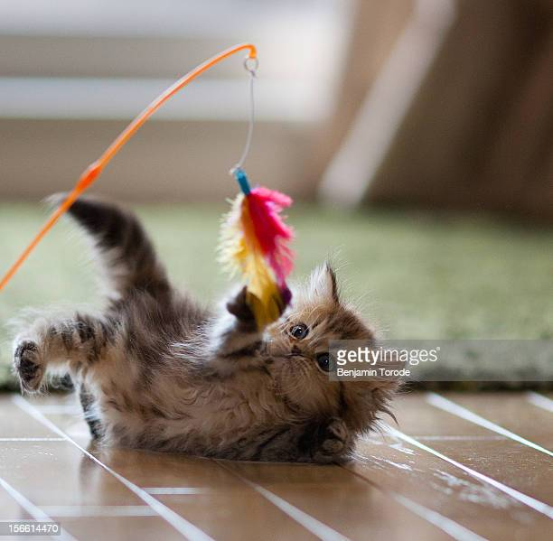 Brown kitten playing on floor with toy