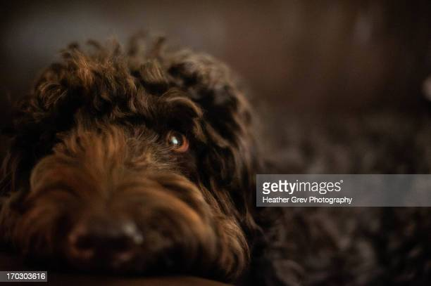 brown labradoodle face - labradoodle stock photos and pictures