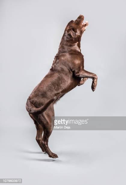 brown labrador jumping studio shot - chocolate labrador stock pictures, royalty-free photos & images
