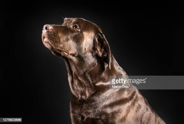 brown labrador posing - 突き出た鼻 ストックフォトと画像