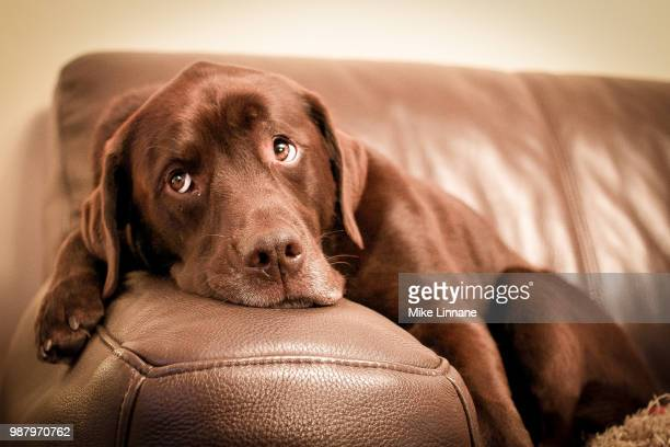 Brown labrador retriever lying on couch