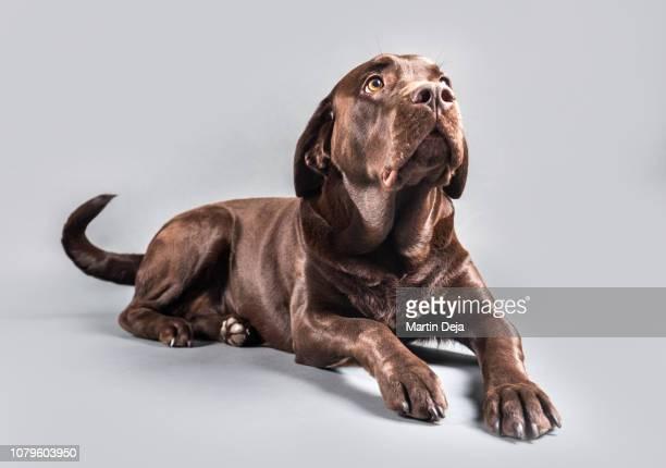 brown labrador studio shot - chocolate labrador stock pictures, royalty-free photos & images