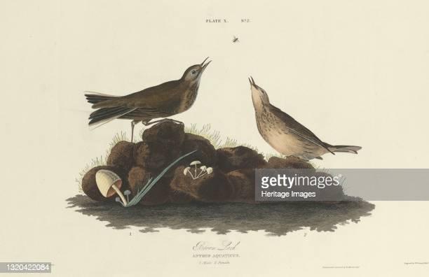 Brown Lark, 1827. [Anthus aquaticus]. Artist William Home Lizars.