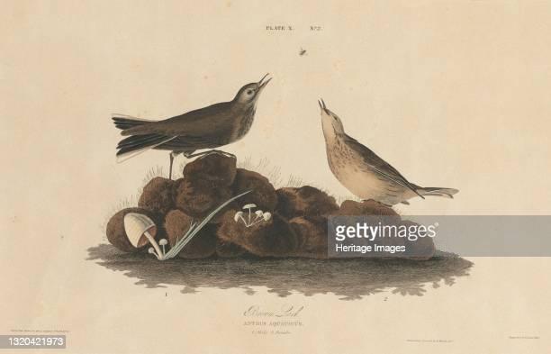 Brown Lark, 1827/1830. [Anthus aquaticus]. Artist William Home Lizars.