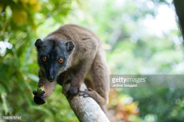 brown lemur close-ups - french overseas territory stock pictures, royalty-free photos & images