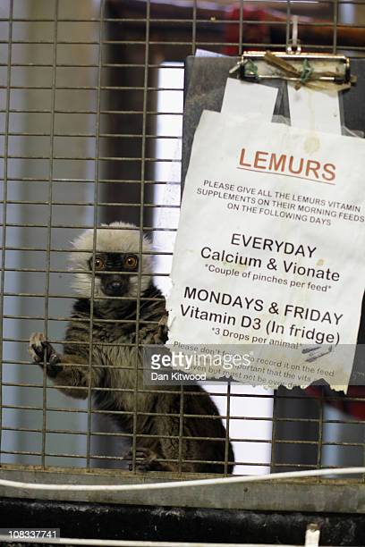 Brown Lemur looks from it's cage at Heathrow Airport's Animal Reception Centre on January 25 2011 in London England Many animals pass through the...