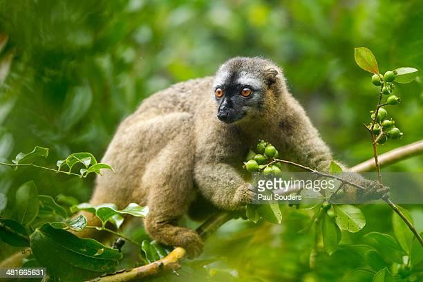 brown lemur, ranomafana national park, madagascar - ranomafana national park stock photos and pictures
