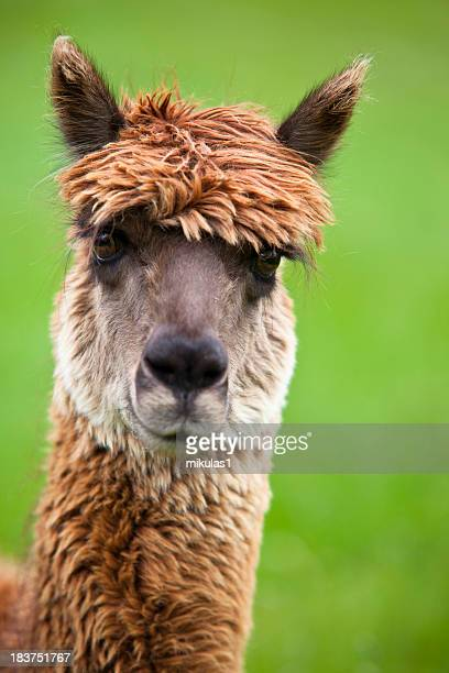 Brown llama with green background