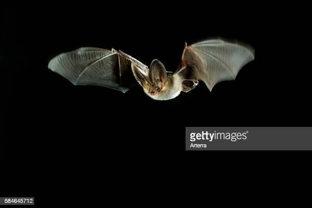 Brown longeared bat / common longeared bat in flight at night Belgium