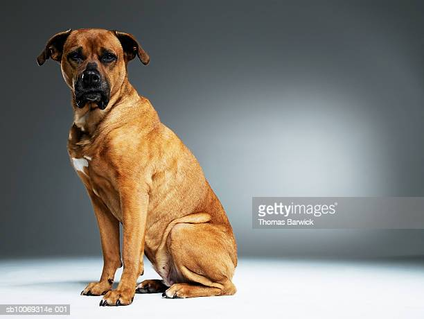 brown mixed breed dog, close-up, portrait - mixed breed dog stock pictures, royalty-free photos & images