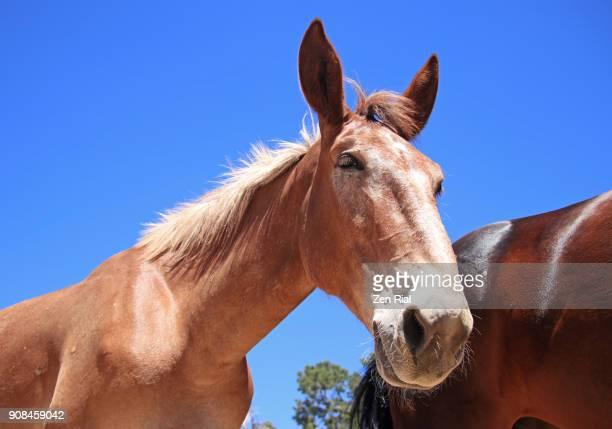 a brown mule in grand canyon national park, arizona - mula imagens e fotografias de stock